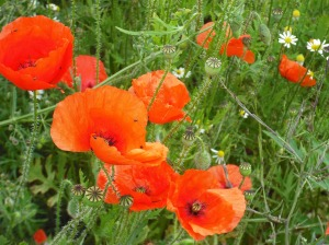annedegruchy.co.uk image: poppies