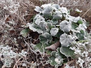 Plants in frost